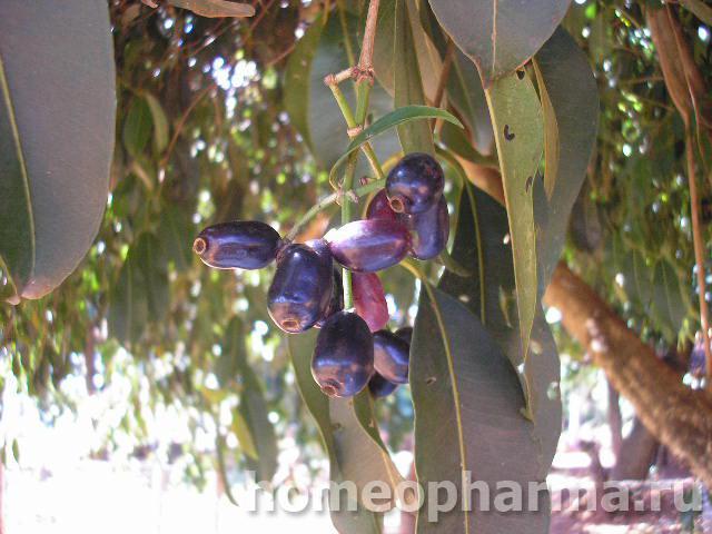 Syzygium cumini Syzygium jambolanum